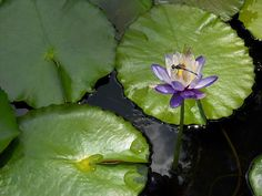Immutabilis, tropical waterlily