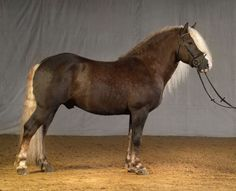 flaxen liver chestnut - Black Forest Horse stallion Federsee