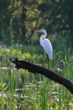 A Great Egret enjoying the view from its perch. Photo - Great Egret. by Mary Ellen Urbanski on 500px