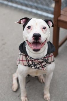 Brooklyn Center BABY – A1062434 MALE, WHITE / BLACK, AM PIT BULL TER MIX, 5 yrs OWNER SUR – EVALUATE, NO HOLD Reason PERS PROB Intake condition UNSPECIFIE Intake Date 01/07/2016, From NY 11226, DueOut Date 01/07/2016, I came in with Group/Litter #K16-044601.