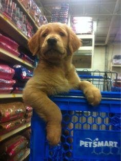 golden retriever goes shopping