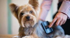 What is the best shampoo for Yorkies? Check this Ultimate Yorkie Shampoo guide to see what is the best for Yorkshire terriers. Yorkshire Terrier Dog, Yorkie Haircuts, Top Dog Breeds, Yorkie Puppy, Biewer Yorkie, Corgi Puppies, Lap Dogs, Dog Grooming, Grooming Yorkies