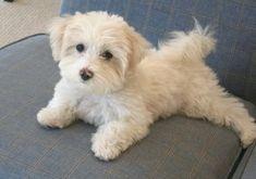 Maltipoo Maltese X Poodle Cross Havanese Puppies, Cute Puppies, Cute Dogs, Dogs And Puppies, Doggies, Cockapoo, Goldendoodles, Maltipoo Haircuts, Dog Haircuts
