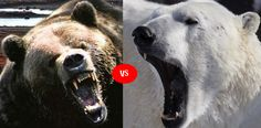 Grizzly vs Polar Bear