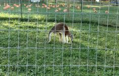You'll find this incredible kangaroo experience at 4237 W Us Highway 150, Paoli, IN 47454.  The ranch's newest adventure is an amazing up-close kangaroo experience. The kangaroo encounter allows visitors to visit and even pet kangaroos, including a baby joey. Baby Joey, Indianapolis Indiana, Home Again, Exotic Pets, New Adventures, Kangaroos, State Parks, Goats, Ranch