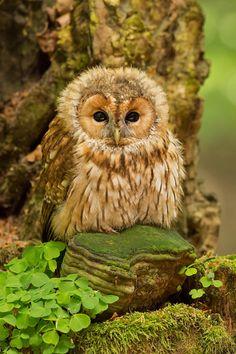 Ural Owl (Strix uralensis) from Scandinavia to Japan