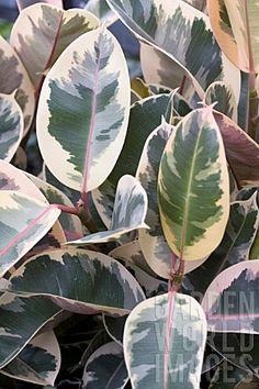 BPD1803- FICUS ELASTICA TRICOLOR : Asset Details -Garden World Images