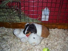Penny LOVES that teddy bear, she drags it around, chews on it's bow tie, and most of all uses it as a pillow. I found it too cute not to take a picture. Guinea Pig Toys, Guinea Pigs, Cute Animal Quotes, Cute Animals, New Dance Moves, Cute Piglets, Teacup Pigs, Pigs In A Blanket, This Little Piggy