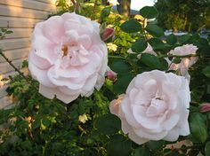 http://fineartamerica.com/featured/roses-in-the-golden-hour-on-an-evening-in-june-elisabeth-ann.html art print $15