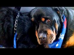 Crying Rottweiler Grieves For Dead Brother, Proof That Animals Do Have Emotions - Daily Megabyte