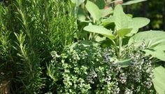 Las aromáticas tienen muchos beneficios para el jardín, la cocina y hasta la salud.