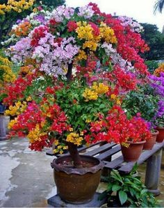 20 pcs/bag bougainvillea seeds, Bougainvillea Spectabilis Willd Seeds, beautiful flower seeds bonsai pot plant for home garden Plantas Bonsai, Bougainvillea Bonsai, Bonsai Plants, Flowers Perennials, Planting Flowers, Flower Seeds, Flower Pots, Rose Trees, Home Garden Plants