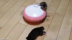 Un gatito recién nacido atacado salvajemente por un robot-aspirador y rescatado por su hermanito