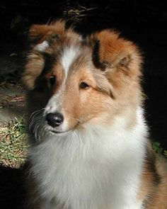 Sagebrush Shelties: Dustin's Kids