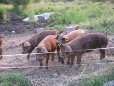 Want to know how to raise a pig for meat? Raising and butchering pigs for your freezer can save money. How long to raise a pig to slaughter. Starting A Farm, Pig Farming, Livestock, Farm Life, Country Life, Farm Animals, Raising, Pigs, Goats