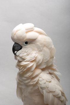 A Salmon-crested Cockatoo