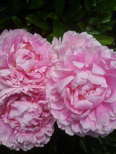 Roze pioenen