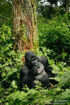 Un macho silverback de gorila de montaña (Gorilla beringei beringei) en Bwindi Impenetrable Forest, Uganda.