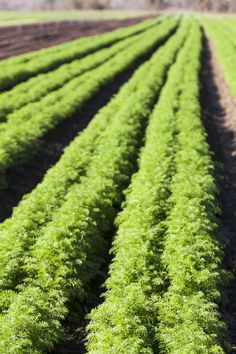 A Lush Rows Of Carrots Ready For Harvesting At Johnsonu0027s Backyard Garden.  Photo By Scott
