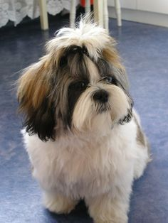 5 Things Your Shih Tzu Won't Judge You For