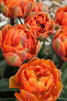 Glorious Enjoy Life With Your Own Flower Garden Beautiful Easy Ideas. Enjoy Life With Your Own Flower Garden Beautiful Easy Ideas. Tulips Garden, Planting Flowers, Flower Gardening, Bulb Flowers, Flowers In Hair, Spring Flowers, Garden Cart, Orange Flowers, Exotic Flowers