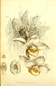 Stanhopea ecornuta. v.2 (1846) - Flore des serres et des jardins de l'Europe - Biodiversity Heritage Library