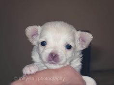 4 week old long hair chihuahua puppy.    .       Training the puppy...  http://www.trainingdogsvideos.com/