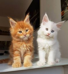 Maine Coon Kittens - aren't those such adorable faces?! ❤❤ ️❤️