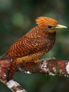 Waved Woodpecker, Celeus undatus: the Guyanas and nearby regions in VE/ BR | VENT Birding Tours // www.ventbird.com