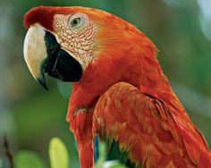 10 Most Rare Rainforest Birds Pretty Birds, Beautiful Birds, Animals Beautiful, All Birds, Love Birds, Beautiful Bird Wallpaper, Rainforest Birds, Parrot Wallpaper, Amazon Animals