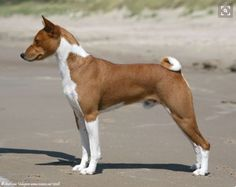 Red and White Basenji in good form. Basenji Dogs, Hunting Dogs, Dogs Of The World, Dog Photos, Beagle, Puppy Love, Best Dogs, Dog Breeds, Red And White