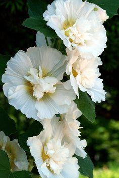 Althaea rosea . Photo was taken in The Kyoto Botanical Garden