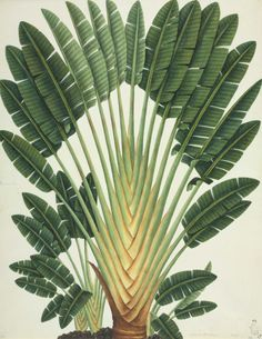 "Ravenala madagascariensis, known as traveller's tree or traveller's palm, is a species of plant from Madagascar. It has been given the name ""traveller's palm"" because the sheaths of the stems hold rainwater, which supposedly could be used as an emergency drinking supply for needy travellers. Another reason is that the fan tends to grow on an east-west line, providing a crude compass. illustrated by John Reeves (1774–1856)"