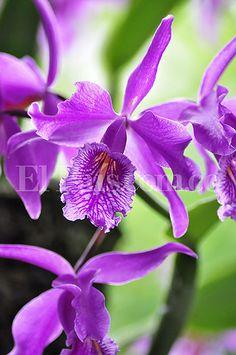 Cinco mil especies de orquídeas podrán ser apreciadas esta semana en #CaliCo durante el evento 'Caliorquídeas' 2014.