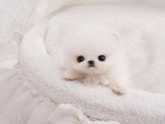 Available Teacup Pomsky Puppies! We Deliver The Teacup Puppies In The World. Shop Our Online Teacup Puppy Boutique. Buy A Teacup Pomeranian. Red Teacup Poodle For Sale. Teacup Puppy Breeds, Chihuahua Puppies For Sale, Tiny Puppies, Cute Dogs And Puppies, Baby Dogs, Micro Teacup Dogs, Teacup Dogs For Sale, Cute Baby Pigs, Pocket Dog