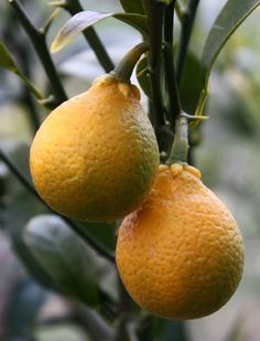 citrangequat is a trigeneric citrus hybrid of a citrange and a kumquat, developed in They are bitter in taste, but are considered edible by some at the peak of their maturity. Types Of Fruit, Fruit And Veg, Fruits And Veggies, Fresh Fruit, Fruit Plants, Fruit Garden, Fruit Trees, Weird Fruit, Strange Fruit