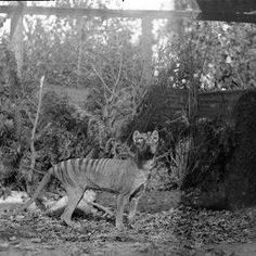 As featured on Animal Planet's Hunt for the Tasmanian Tiger, TRU is a Group of Researchers, Scientists and Naturalists who have embarked on a quest to prove the continued existence of the Thylacine or Tasmanian Tiger.
