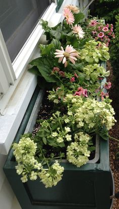 Update, 6 weeks after planting: the daisy flowers are shorter than the daisy leaves. This might be caused by the afternoon sun or the wet soil in the self-watering window box. The other plants are doing great. -- Original comment: window box, 2015 - warm pink and pale lime green flowers and foliage: Lanai 'Lime Green' Verbena (2), Superbells® 'Strawberry Punch'(2), 'Jaguar Mix' Gerbera Daisy (2), and 'Lemon Licorice' Licorice Plant (1) - all from #BriggsNursery, North Attleboro, MA
