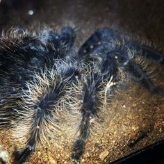 Pet Tarantula, Animals And Pets, Cute Animals, Pet Spider, Fuzzy Wuzzy, Pets 3, Praying Mantis, Pet Costumes, Wildlife Nature