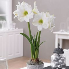 "Crisp White, Amaryllis Amaryllis Christmas Gift 28/30cm from Longfield Gardens, Each Stem Bears At Least 4, 8"" Flowers, Lasts for Weeks."