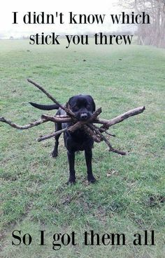 Lol! Don't you hate it when you can't find the right stick your person threw? Love Labrador Retrievers!