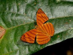 Butterflies of Malaysia & Borneo. Trogonoptera brookiana © Adrian Hoskins