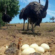 Parrots and their fertile eggs for sale   | Birds | Fertile eggs for