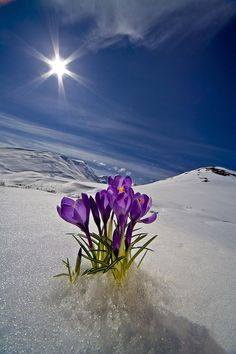 Beautiful Flowers Pictures, Beautiful Flowers Garden, Flowers Nature, Flower Pictures, Amazing Flowers, Pretty Flowers, Foto Picture, Snow Flower, Winter Flowers