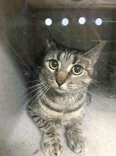 MAYO - A1111227 - - Brooklyn  ***TO BE DESTROYED 05/10/17***  Beautiful MAYO is a one year old female tabby who needs an experienced foster or adopter who will allow her time to decompress in her new surroundings. Mayo is perfectly healthy.  She must be reserved through a New Hope rescue by NOON! -  Click for info & Current Status: http://nyccats.urgentpodr.org/mayo-a1111227/