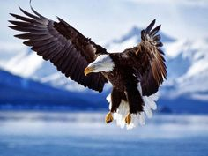 Eagles are one of the most special creatures in this world. Its meaning is enormous in the United States. Eagles always fly high. Anyone who has a fascination with eagles will love this wallpaper. Tier Wallpaper, Eagle Wallpaper, Animal Wallpaper, 1080p Wallpaper, Wallpaper Pictures, Wallpaper Ideas, Beautiful Birds, Animals Beautiful, Cute Animals