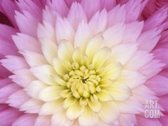 Close Up of a Dahlia Hybrid Flower, Gay Princess Variety Photographic Print by Wally Eberhart at Art.com