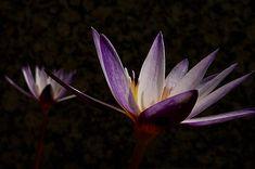 Beautiful Water Lily Pictures