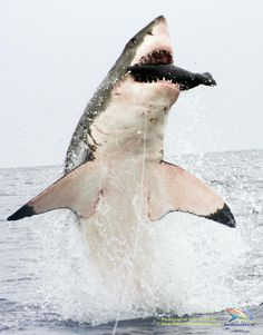 Great White breaching.
