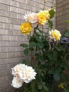 Gardening amei essa lindas flores , pena que la em casa nao a espaço :(